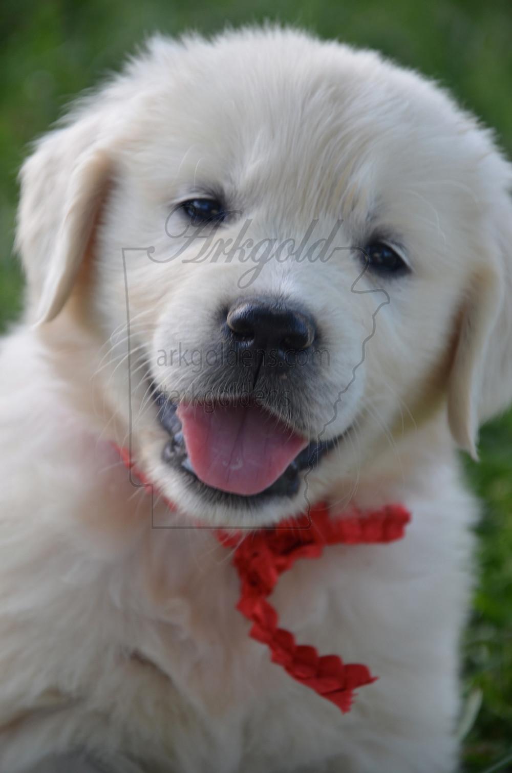 golden retriever puppy smiling arkgold