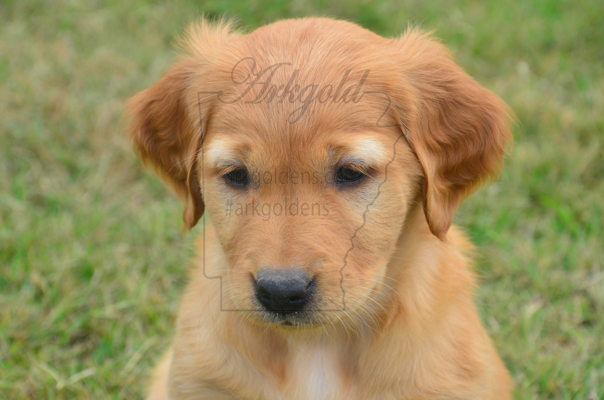 field style golden retriever puppy good sit arkgold
