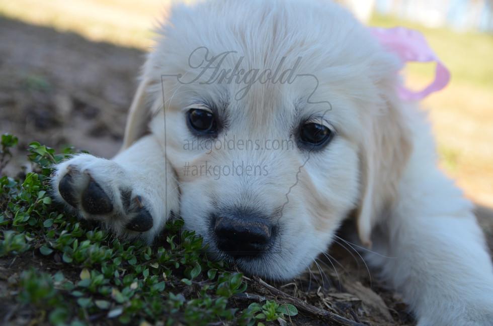 ARKGOLD Golden Retriever Puppy