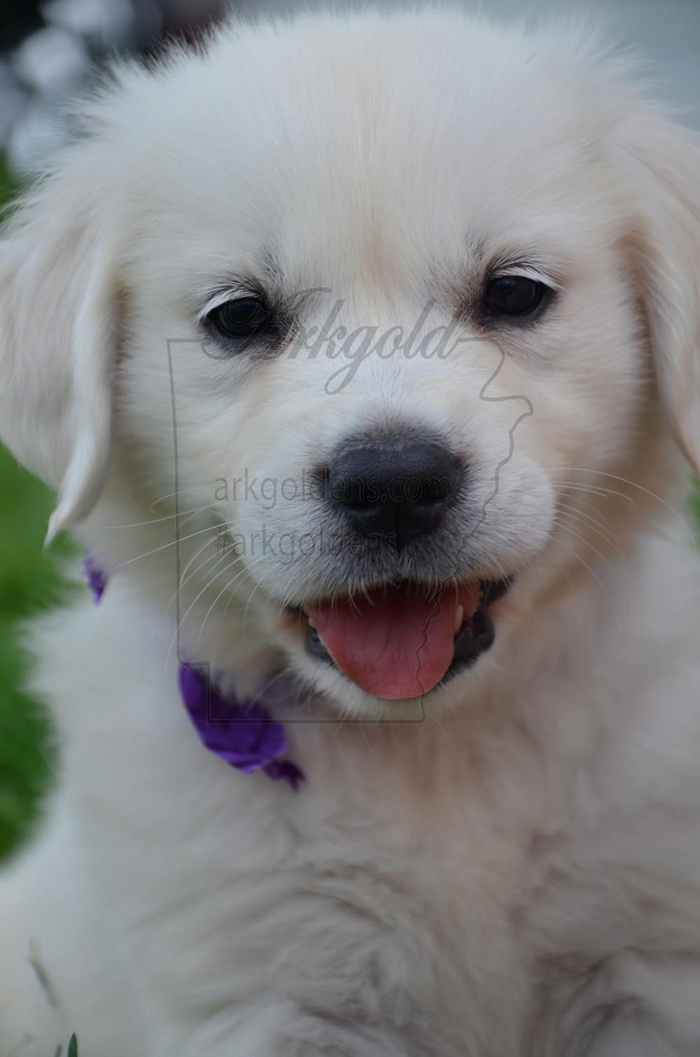 Cute Puppy Face Golden Retriever ARKGOLD