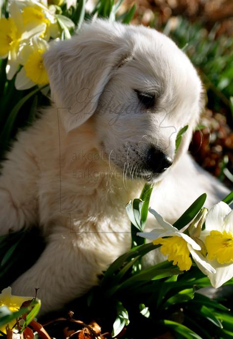 Golden Retriever Puppy FLOWERS ARKGOLD