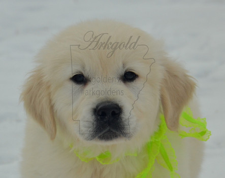Golden Retriever Puppy in Snow ARKGOLD