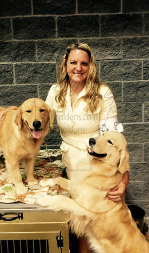 showing in AKC conformation golden retriever arkgold