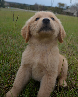 golden retriever bidable eye contact willing to please puppy arkgold