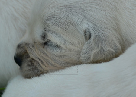 golden retriever puppy sleeping 1 week old arkgold