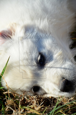 golden retriever puppy laying in grass at arkgoldens.com arkgold
