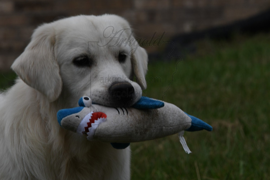 retrieving dog toys at arkgold