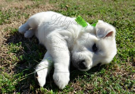 golden retriever puppy stretching in grass arkgold