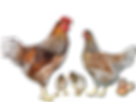 Wyandotte blue laced red.png