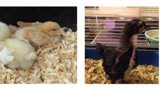 Raising chicks: Week 2