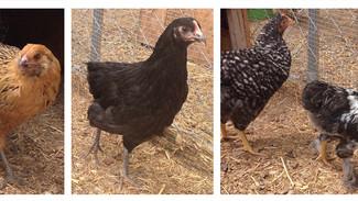Raising Chicks: Week 10