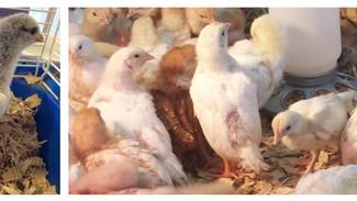 Raising chicks: Week 3