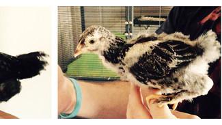 Raising Chicks: Week 6