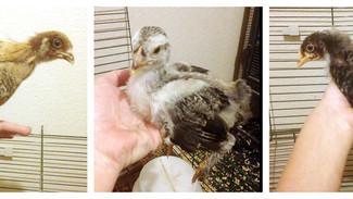 Raising chicks: Week 5