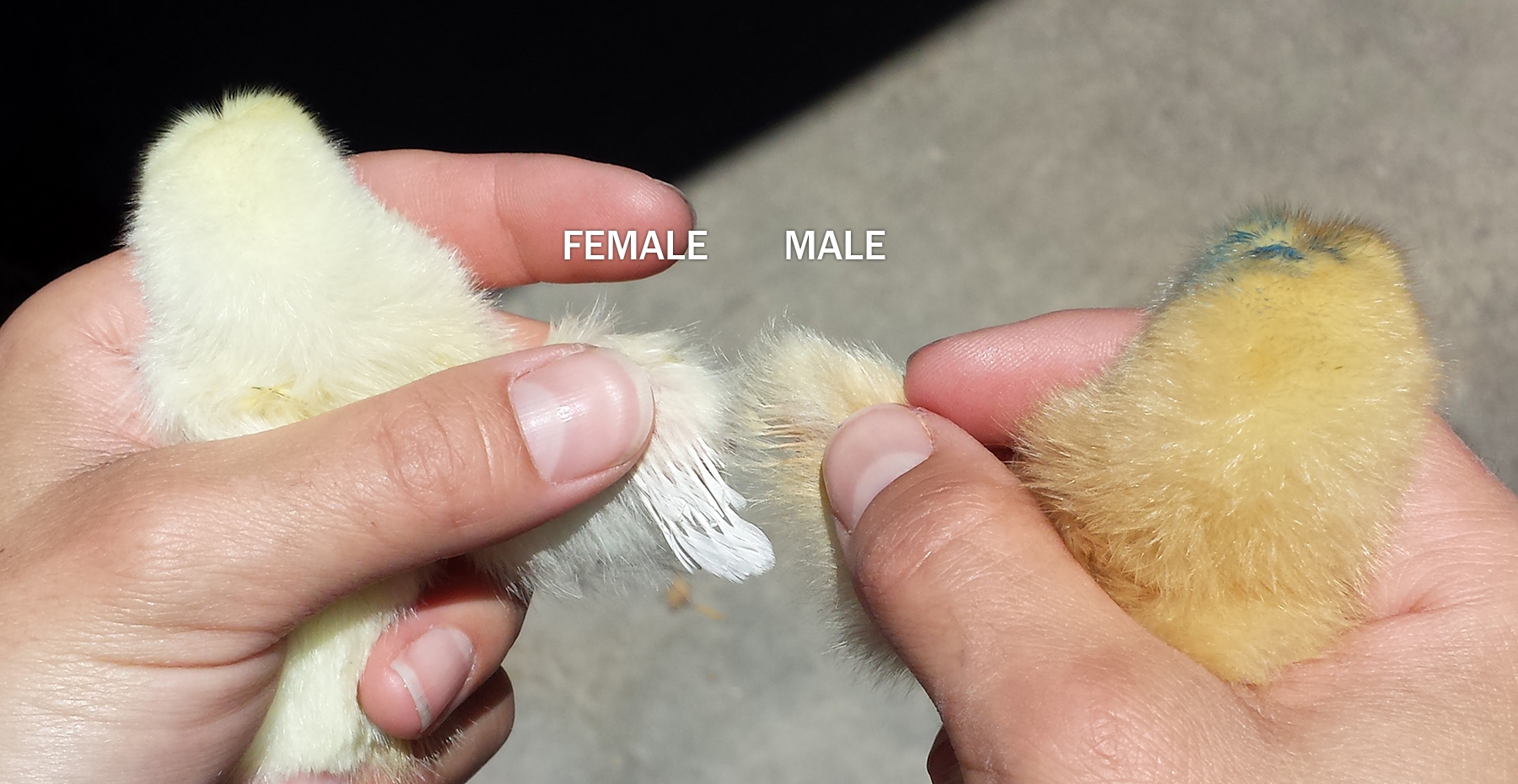 how to distinguish sex of chicks