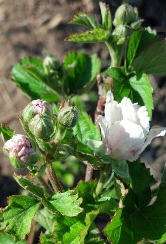 Blackberries in Alkaline Soil 04152015.jpg