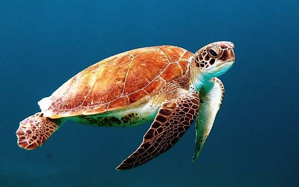 plongée Phuket tortue