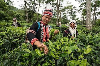 plantations de the nord thailande