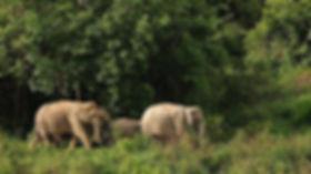 elephant cambodge