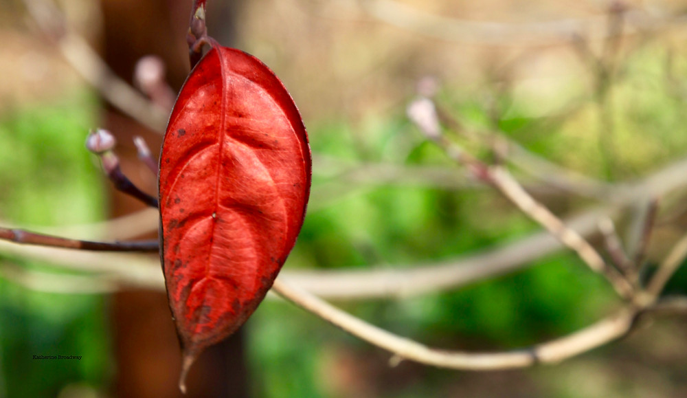 Image of red leaf against out of focus green background. Raleigh Psychotherapy, counseling, contradictions, Katherine Broadway