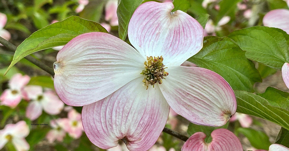 dogwood flower, intensions, Raleigh Psychotherapy, counseling, Katherine Broadway
