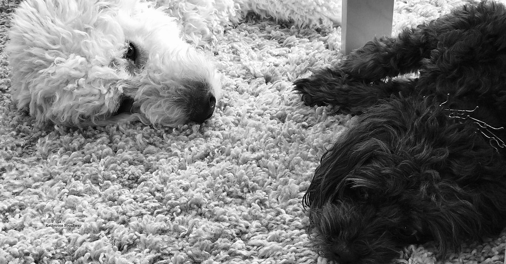 Image of black dog and white dog laying on a shag carpet. Raleigh Psychotherapy, counseling, emotional contagion, Katherine Broadway