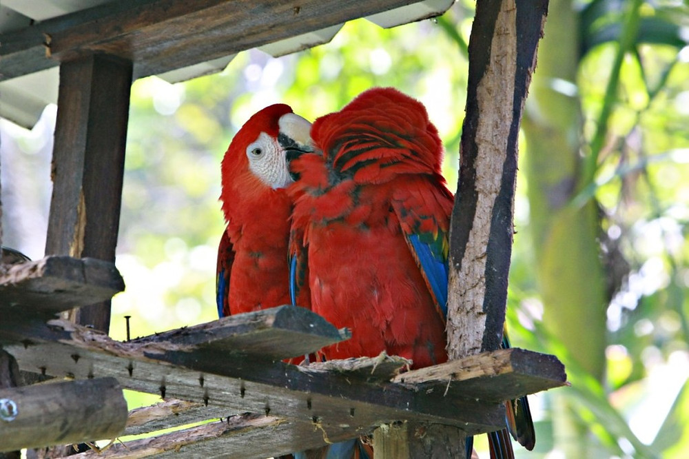 Photo of red and blue parrots. Raleigh Psychotherap © Katherine Broadway, M.Div, LPC