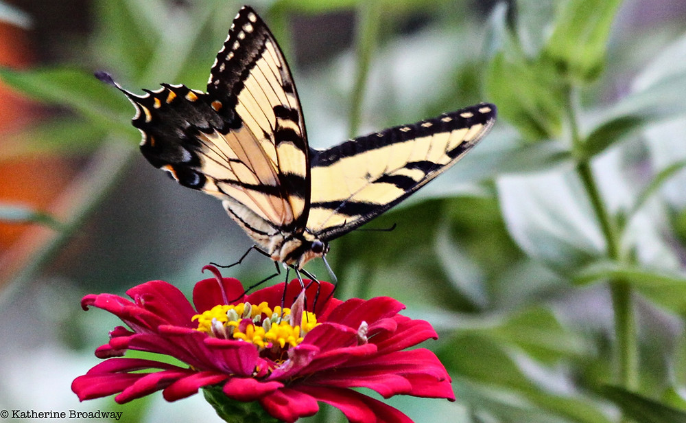 Image of yellow and black butterfly on red flower. Raleigh Psychotherapy, counseling, Katherine Broadway