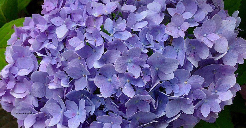 Image of blue flowers.  Raleigh Psychotherapy, Katherine Broadway, counseling