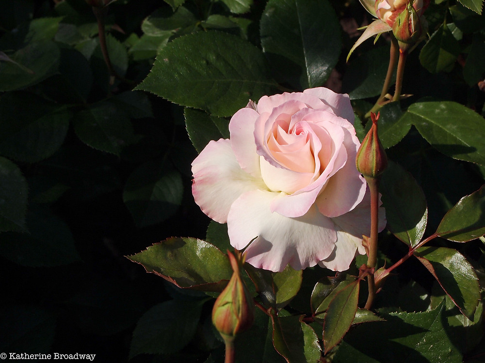 Image of pink rose against dark green background.