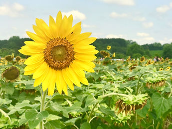 Image of large sunflower in foreground