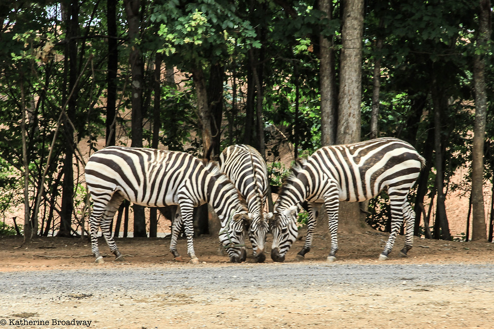 Image of 3 zebras in wildlife park. Raleigh Psychotherapy, counseling, Katherine Broadway, relationships