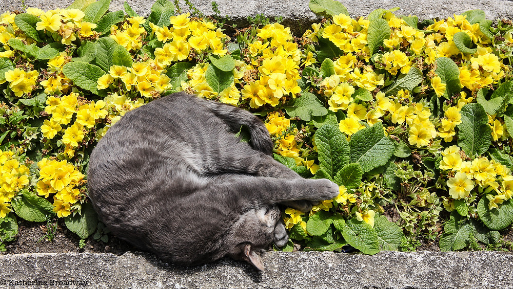 Image of a gray cat sleeping among yellow flowers. Raleigh Psychotherapy, Counseling, change, Katherine Broadway