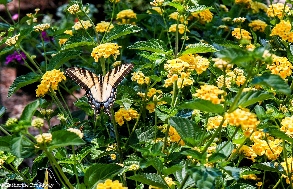 Image of yellow and black butterfly in a field of yellow flowers with orange centers.Raleigh Psychotherapy, Showing Up, counseling, Katherine Broadway