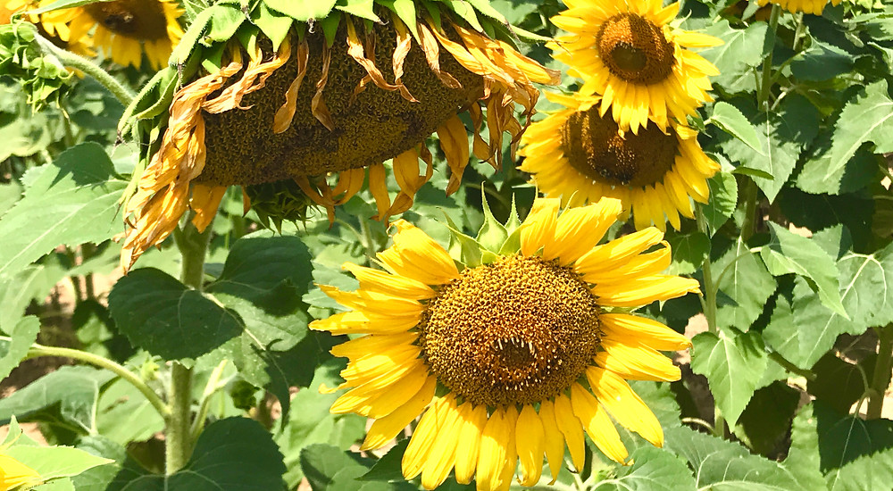 Image of sunflowers at the end of their season.