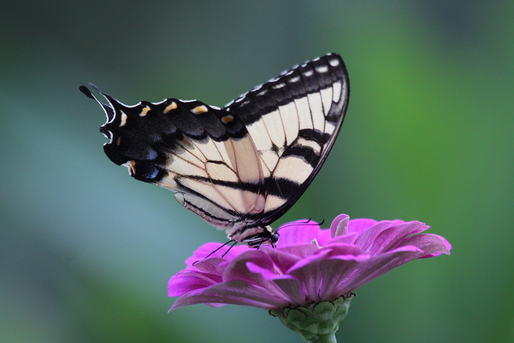 Image of yellow and black butterfly on a deep pink flower. Raleigh Psychotherapy, counseling, good will, Katherine Broadway