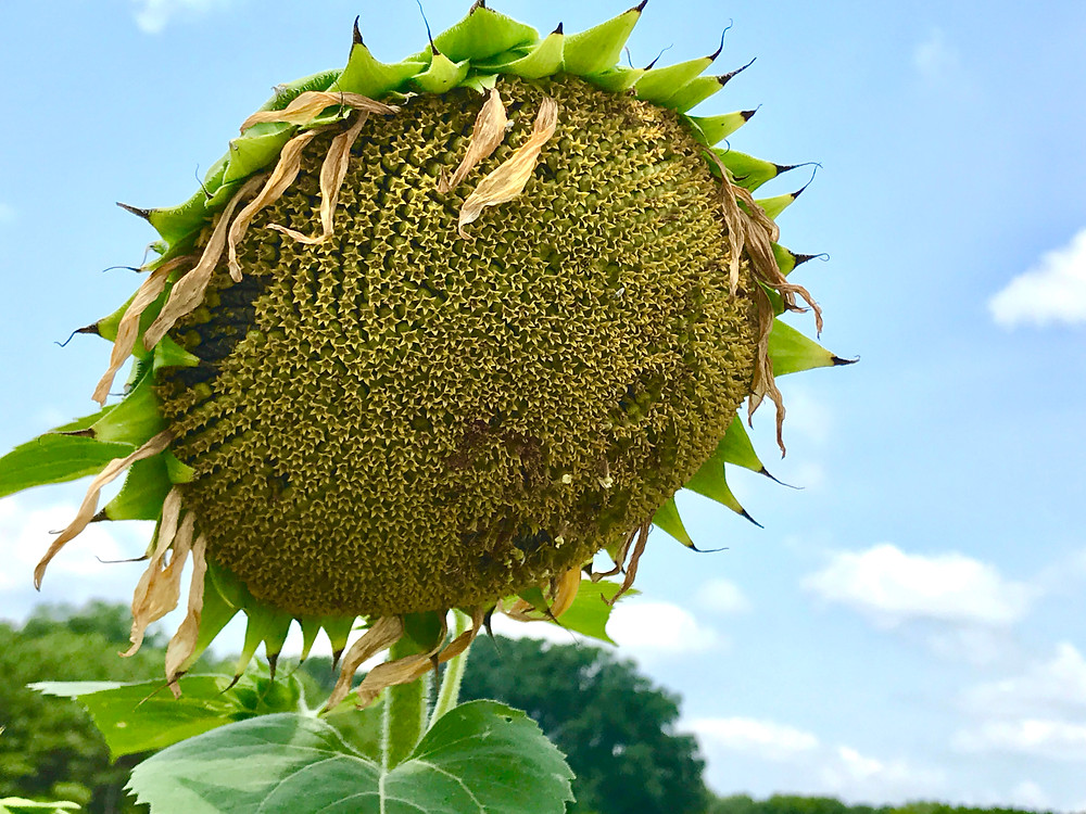Image of dried out sunflower. Raleigh Psychotherapy, counseling, Living on Auto Pilot, Katherine Broadway