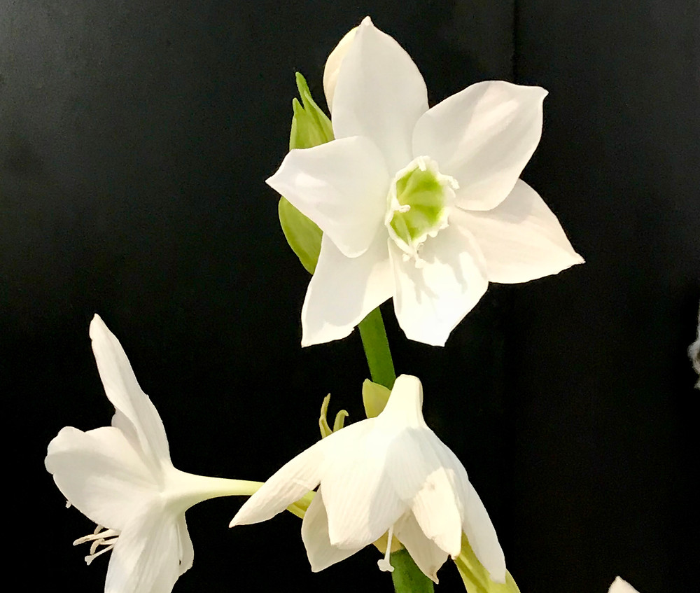Image of white flower with green center against black background. Raleigh Psychotherapy, counseling, depression, Katherine Broadway