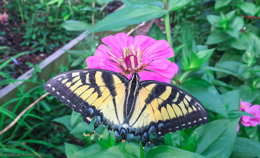 Image of yellow and black butterfly on a pink flower. Raleigh Psychotherapy, counseling, Drama Triangle, Katherine Broadway