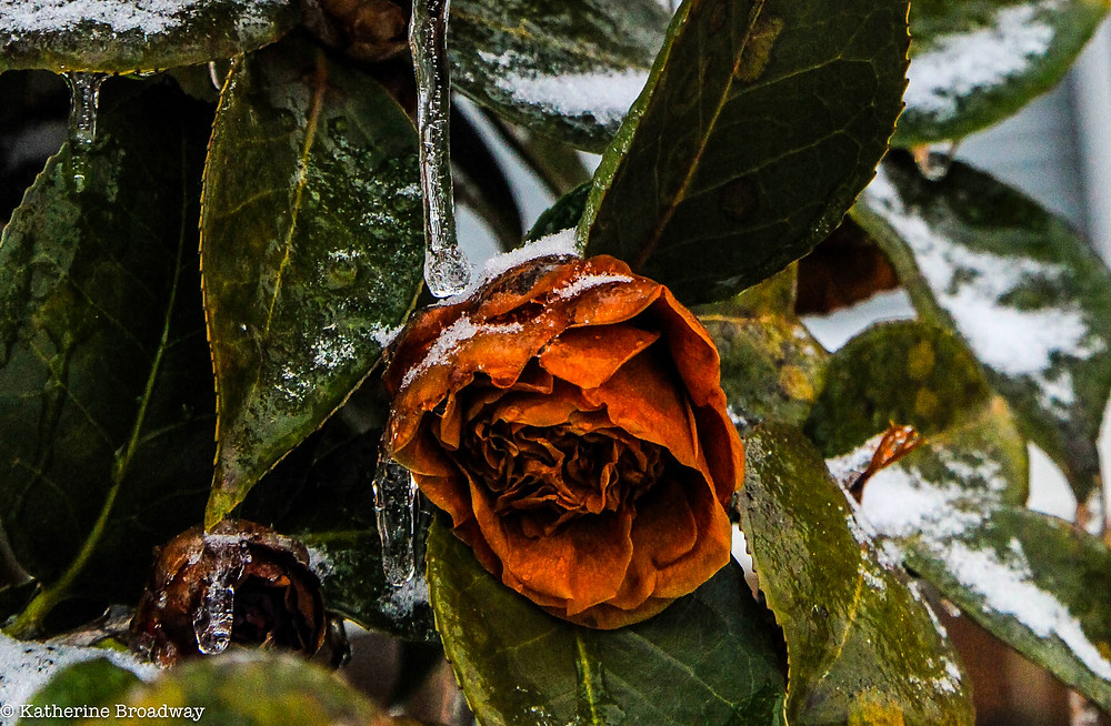 Image of faded red rose in a snowy garden. Raleigh Psychotherapy, counseling, depression, anger, Katherine Broadway