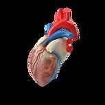 Human Heart.H03.2k.png