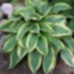 wolverine_hosta_plant_414_detail.jpg