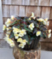 Begonia Iconic Tweety Pie.jpg