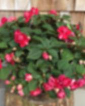 musica bi color cherry.jpg