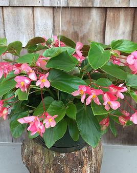 Begonia Dragon Wing Pink.jpg