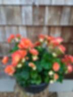 Begonia Selonia Apricot.jpg