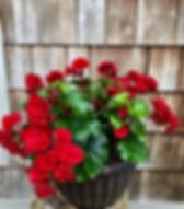 Begonia Selonia Velvet Red.jpg