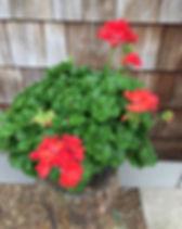Geranium Patriot Watermelon.jpg