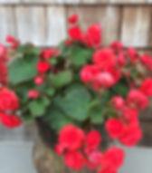 Begonia Solenia REd.jpg