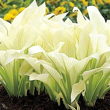 white-feather-hosta.jpg